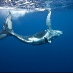 Seasonal Whale Watching Tour in Tonga