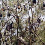 bats in casuarina trees Tonga