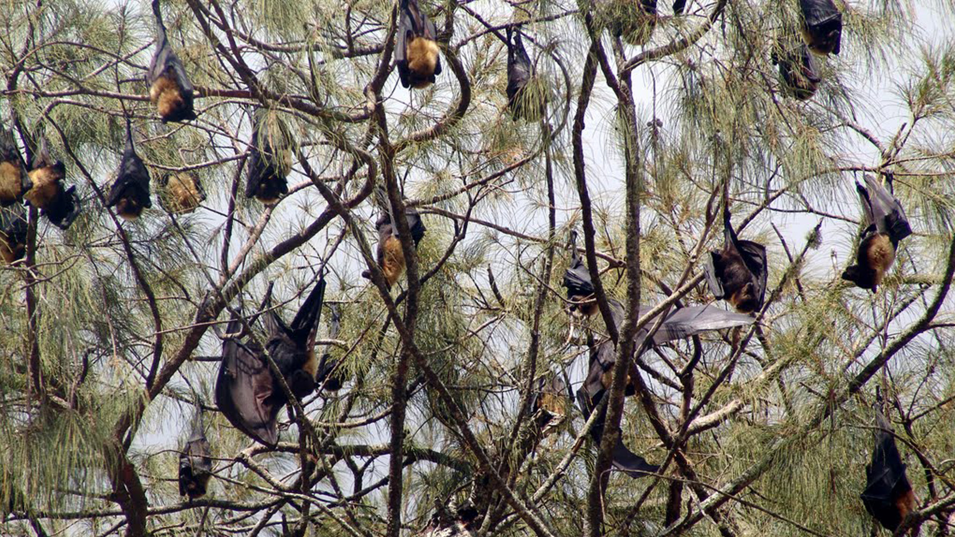 Flying fox colony Tonga Tours